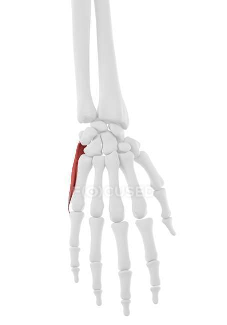 Esqueleto humano con rojo color Abductor digiti minimi músculo, ilustración informática.. - foto de stock