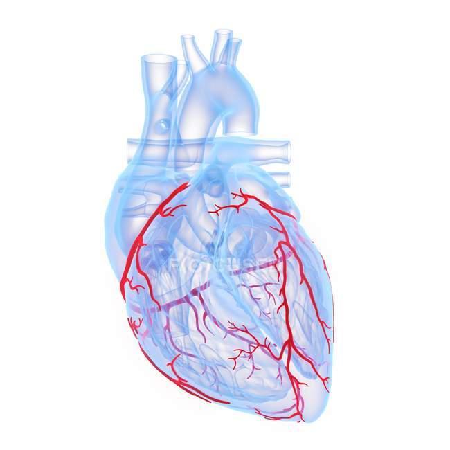 Коронарні кровоносні судини в синьому людському серці, цифровий приклад. — стокове фото