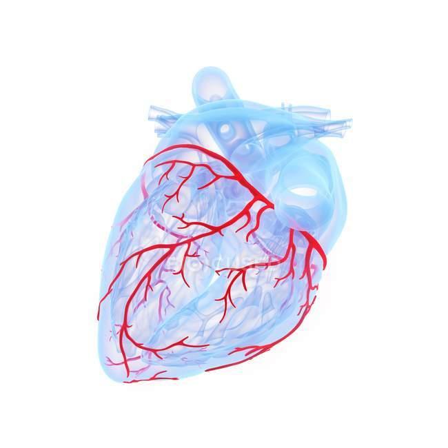 Vasos sanguíneos coronarios en el modelo azul del corazón humano, ilustración digital . - foto de stock
