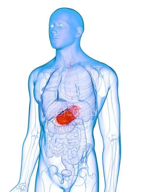 Estómago enfermo en silueta corporal masculina, ilustración conceptual por computadora . - foto de stock