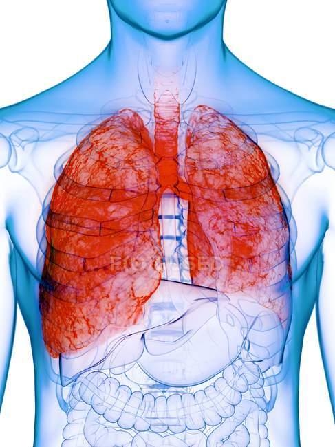 Kranke Lungen im transparenten Männerkörper auf weißem Hintergrund, Computerillustration. — Stockfoto