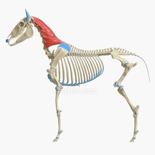 Modelo de esqueleto de caballo con músculo esplénico detallado, ilustración digital . - foto de stock