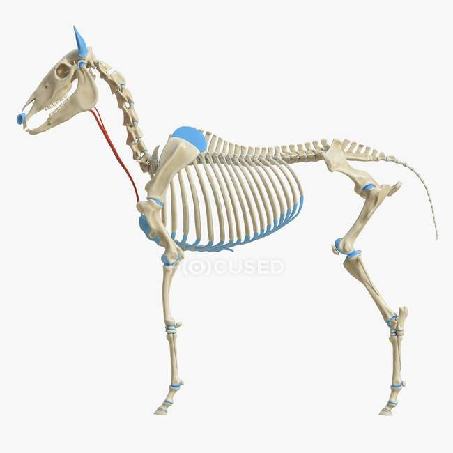 Modelo de esqueleto de caballo con músculo esternohyoideus detallado, ilustración digital . - foto de stock