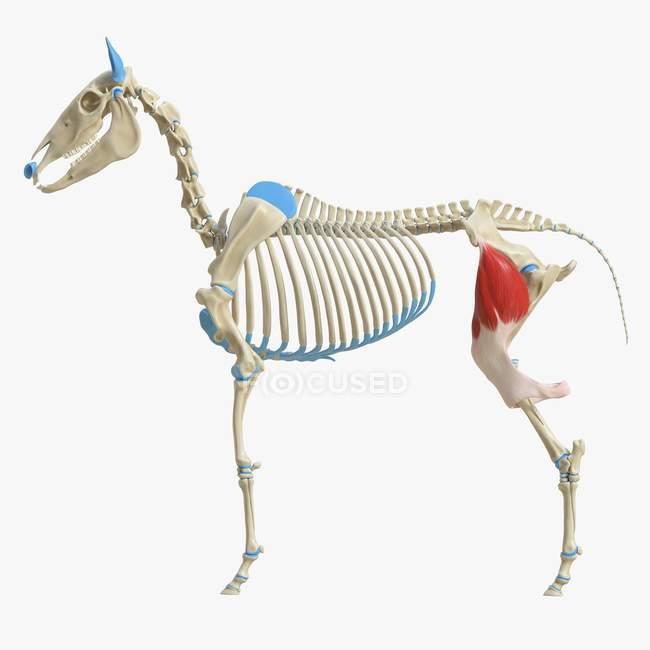 Modelo de esqueleto de caballo con músculo Tensor fascia lata detallado, ilustración digital . - foto de stock