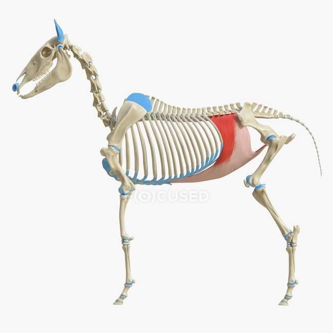 Horse skeleton model with detailed Transversus abdominis muscle, digital illustration. — Stock Photo
