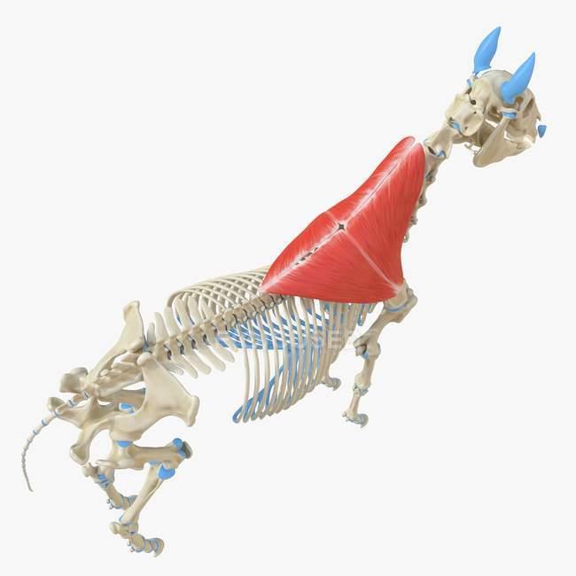 Modelo de esqueleto de caballo con músculo Trapezius detallado, ilustración digital . - foto de stock