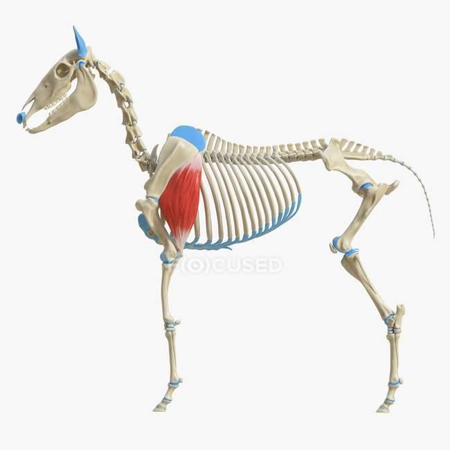 Modelo de esqueleto de caballo con músculo Triceps brachii detallado, ilustración digital . - foto de stock