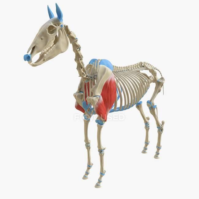 Modelo de esqueleto de caballo con músculo Triceps detallado, ilustración digital . - foto de stock