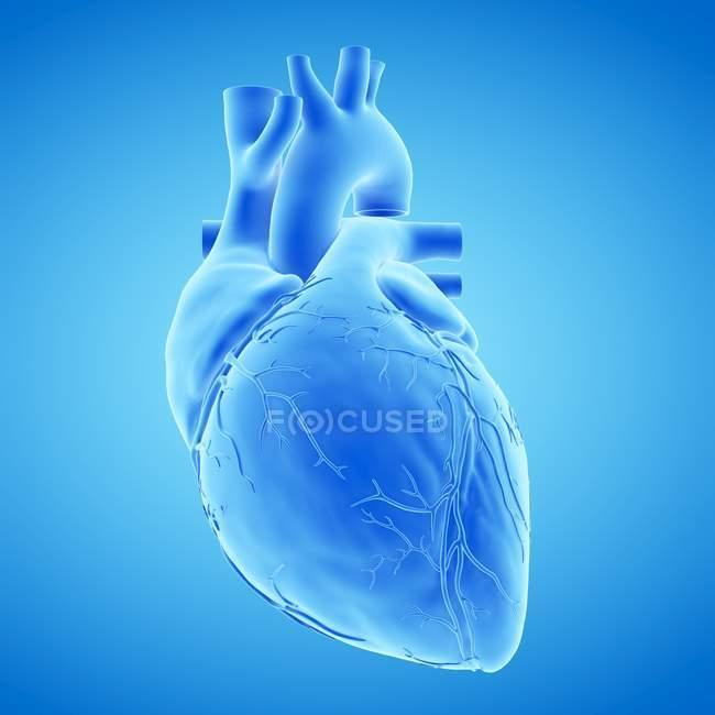 Modello di cuore umano su sfondo blu, illustrazione del computer . — Foto stock