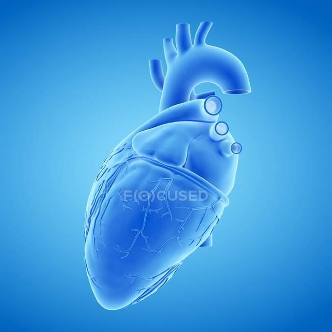 Modelo de corazón humano sobre fondo azul, ilustración por ordenador . - foto de stock