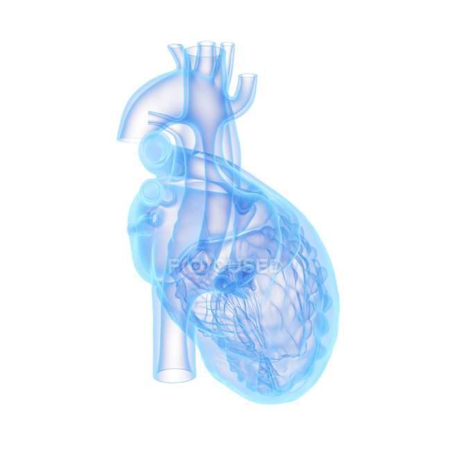 Modelo de corazón humano sobre fondo blanco, ilustración por ordenador . - foto de stock