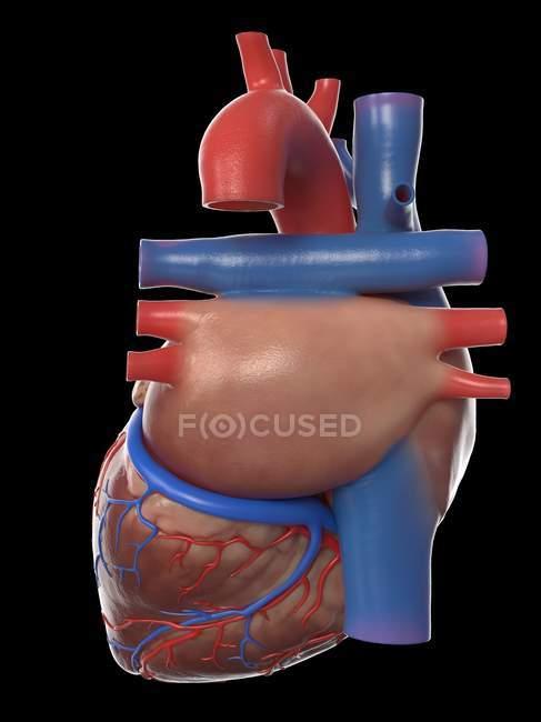 Modelo realista del corazón humano sobre fondo negro, ilustración por ordenador . - foto de stock
