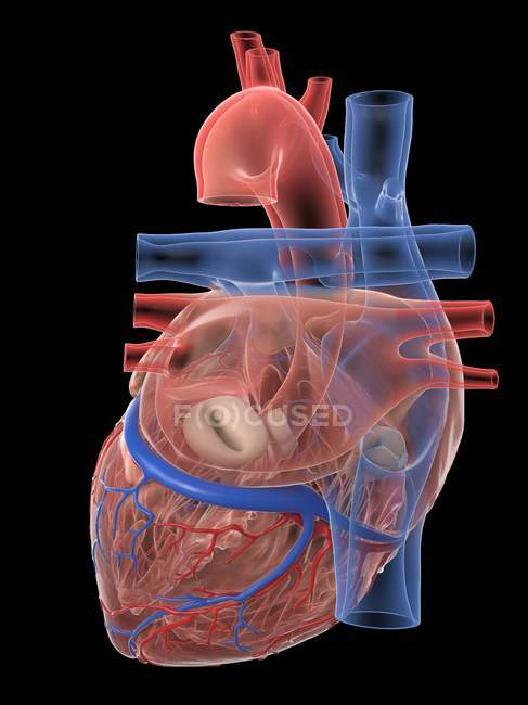Corazón humano realista y vasos sanguíneos sobre fondo negro, ilustración digital . - foto de stock