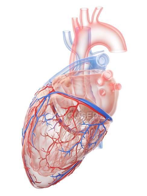 Corazón humano realista y vasos sanguíneos sobre fondo blanco, ilustración digital . - foto de stock