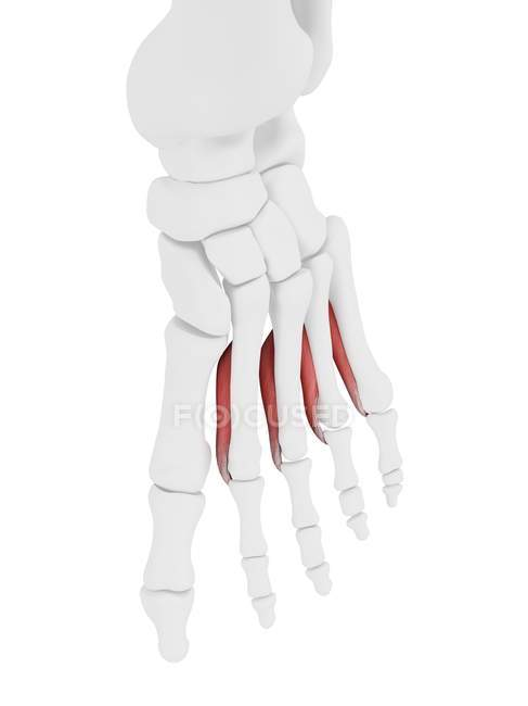 Human skeleton part with detailed Interosseous plantar muscle, digital illustration. — Stock Photo