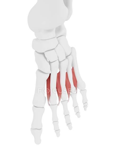 Parte del esqueleto humano con músculo dorsal interóseo detallado, ilustración digital . - foto de stock