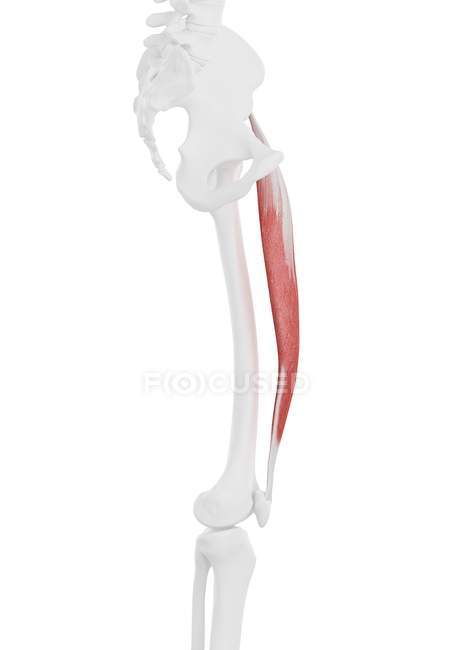 Human skeleton part with detailed Rectus femoris muscle, digital illustration. — Stock Photo