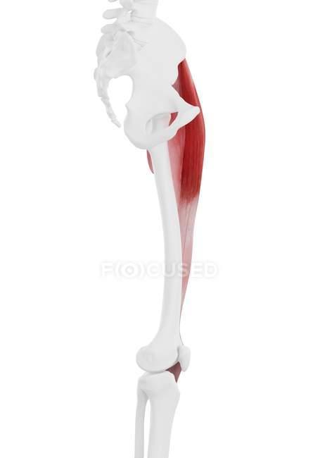 Parte del esqueleto humano con músculo Tensor fascia lata detallado, ilustración digital . - foto de stock