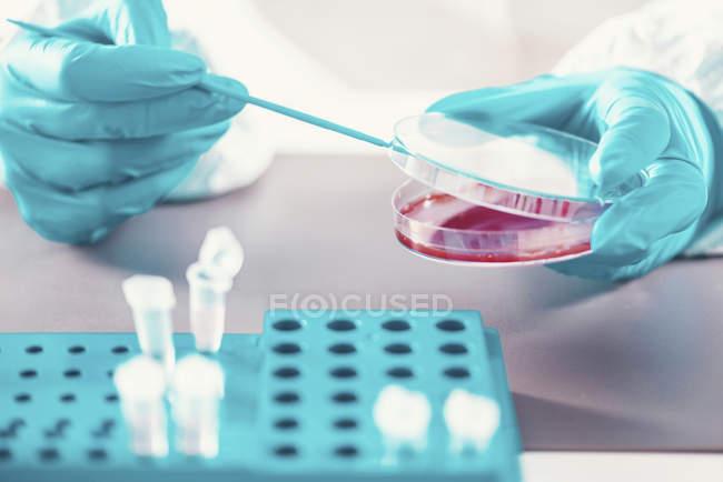 Microbiologiste travaillant avec une boîte de Pétri et des éprouvettes en laboratoire . — Photo de stock
