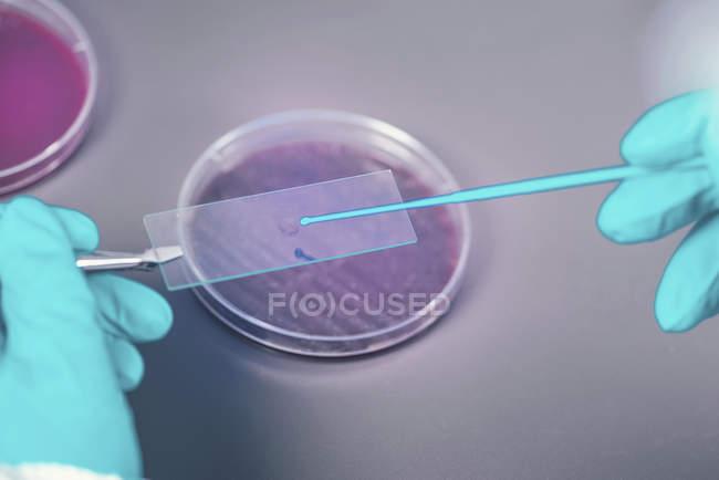 Мікробіолог бере зразок бактерій на слайді мікроскопа.. — стокове фото