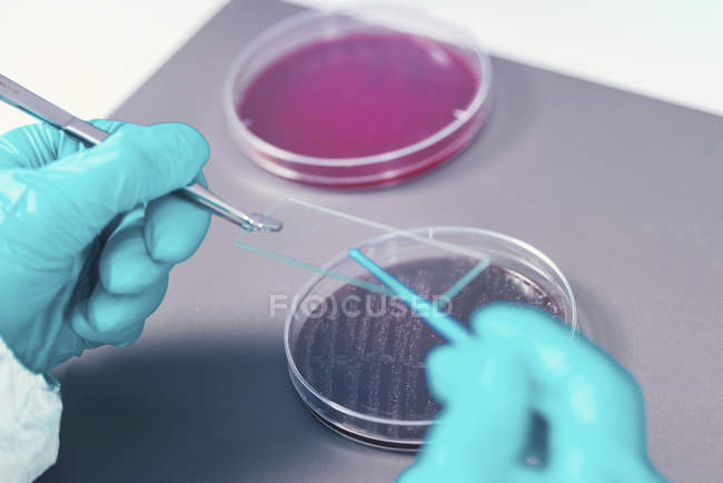 Microbiologist taking bacterial sample on microscope slide. — стокове фото