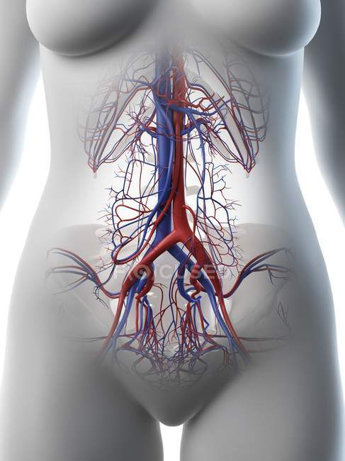 Vasos sanguíneos abdominales femeninos, ilustración por computadora . - foto de stock