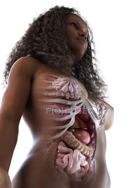 Órganos abdominales femeninos, ilustración informática . - foto de stock