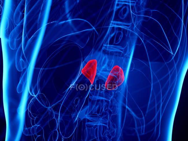 Glandes surrénales dans le corps humain abstrait, illustration numérique . — Photo de stock