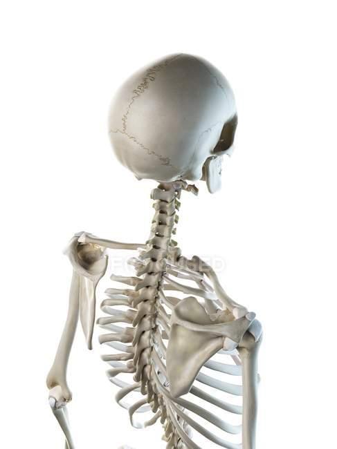 Anatomía de huesos de la espalda del esqueleto humano, ilustración por computadora . - foto de stock