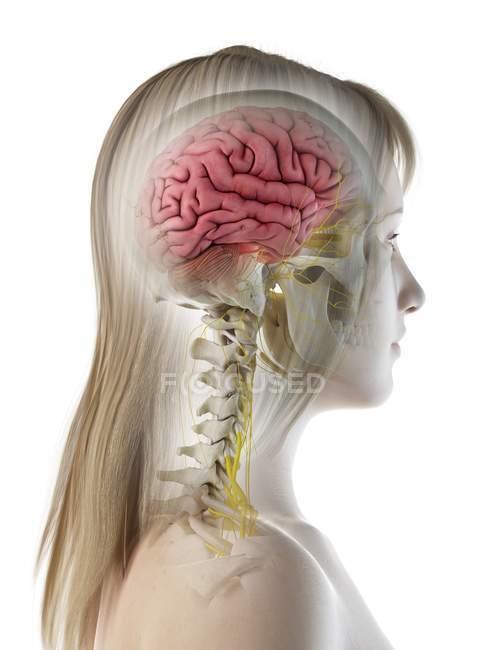 Vista lateral de la anatomía cerebral femenina, ilustración por computadora . - foto de stock