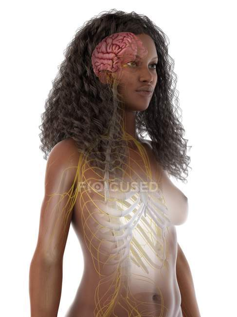 Sistema nervioso con cerebro y nervios en cuerpo femenino abstracto, ilustración por computadora - foto de stock