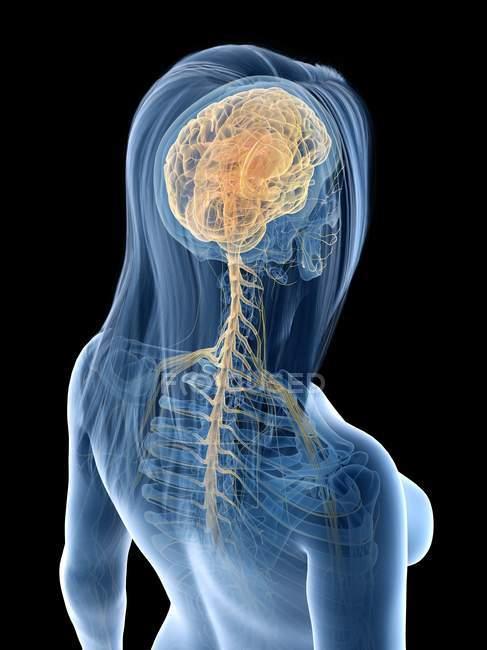 Sistema nervoso com cérebro e nervos em corpo feminino abstrato, ilustração computacional — Fotografia de Stock