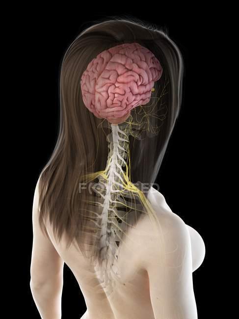Cuerpo femenino con cerebro visible, ilustración por ordenador . - foto de stock