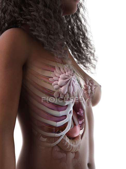 Анатомия грудной клетки и молочных желез, цифровая иллюстрация . — стоковое фото