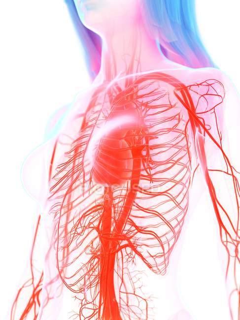 Сердечно-сосудистая система в женском теле, цифровая иллюстрация . — стоковое фото