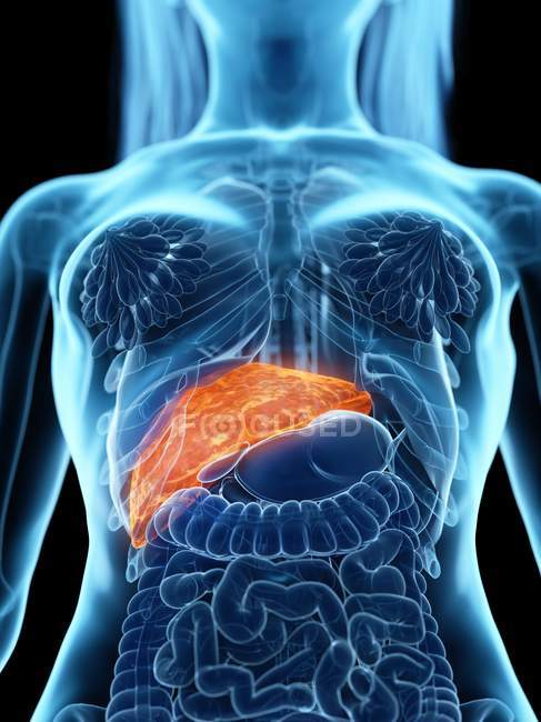 Female anatomy with highlighted diseased liver, computer illustration. — Stock Photo