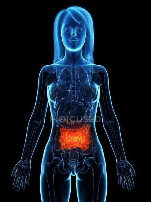 Intestino delgado enfermo en silueta transparente del cuerpo femenino sobre fondo negro, ilustración digital . - foto de stock
