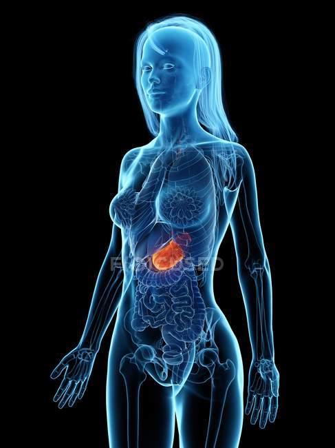 L'estomac malade dans le corps féminin abstrait, illustration numérique . — Photo de stock