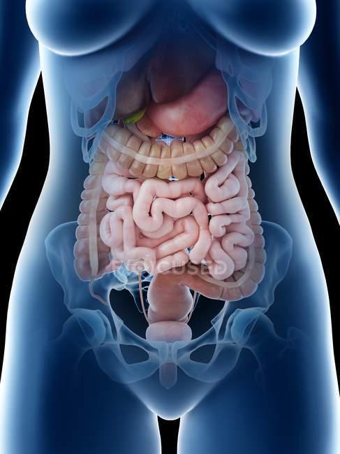 Órganos abdominales femeninos, sección media, ilustración digital . - foto de stock