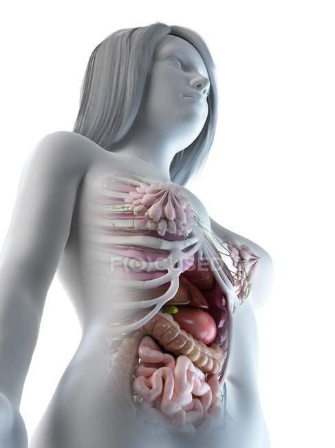 Женские брюшные органы, компьютерная иллюстрация . — стоковое фото