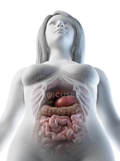 Female abdominal organs, computer illustration. — Stock Photo