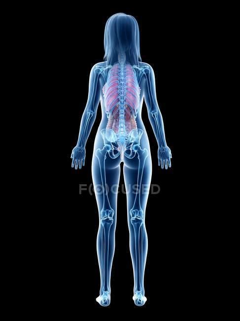 Modelo anatómico 3d que demuestra la anatomía femenina en la vista posterior, ilustración por computadora . - foto de stock