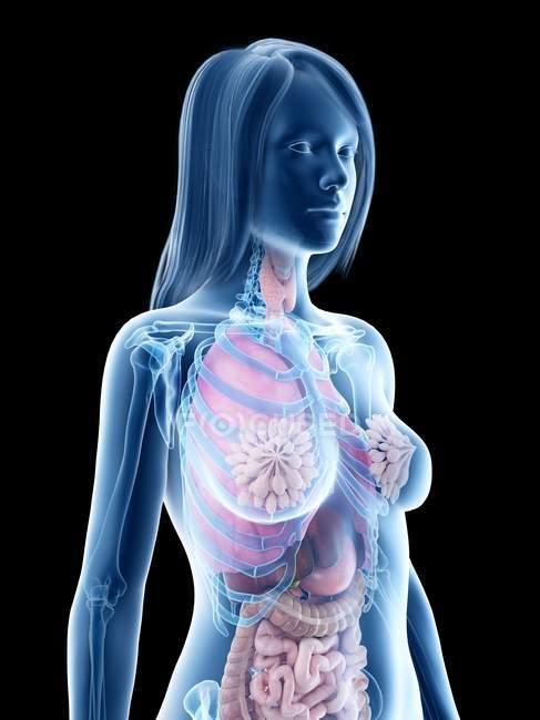 3d modelo anatómico que muestra órganos internos en la anatomía femenina, ilustración por ordenador . - foto de stock
