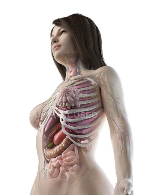 Low angle view of anatomical model showing female anatomy and internal organs, computer illustration. — Stock Photo