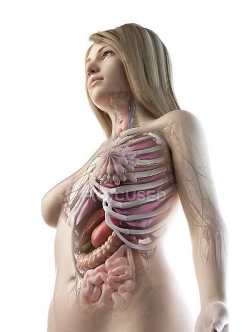 Vista de bajo ángulo del modelo anatómico que muestra la anatomía femenina y los órganos internos, ilustración por computadora . - foto de stock