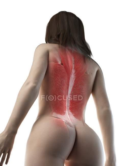 Weibliche Rückenmuskulatur, Tiefansicht, Computerillustration — Stockfoto