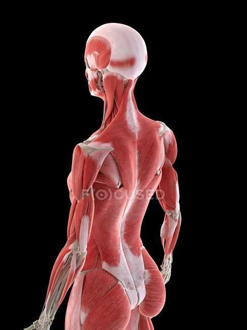Anatomia feminina mostrando os músculos das costas, ilustração do computador — Fotografia de Stock