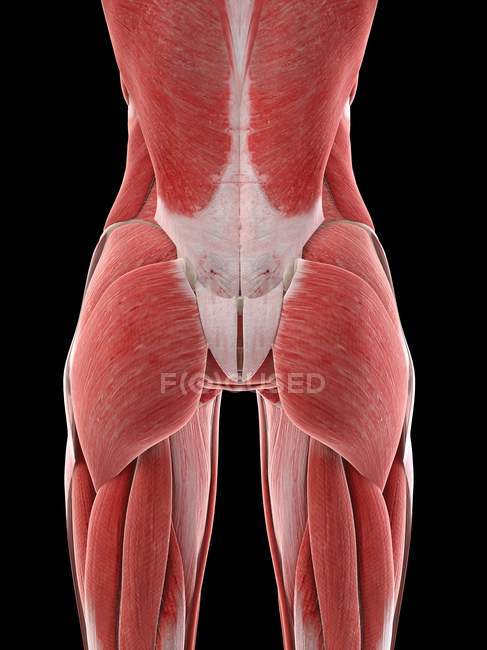 Female buttocks muscles, computer illustration — Foto stock