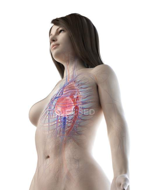 Female body with visible cardiovascular system, digital illustration — Stock Photo