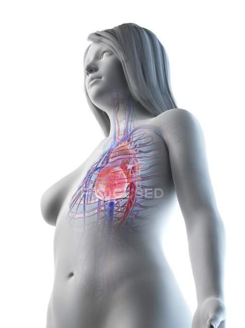 Cuerpo femenino con sistema cardiovascular visible, ilustración digital - foto de stock
